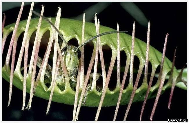 как растение ловит насекомых видео