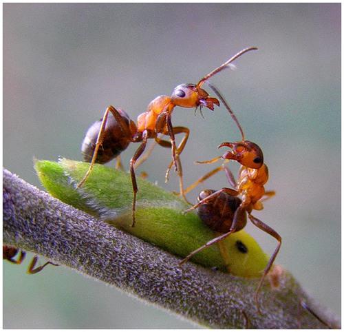 Ученые показали, что амазонские муравьи, питающиеся