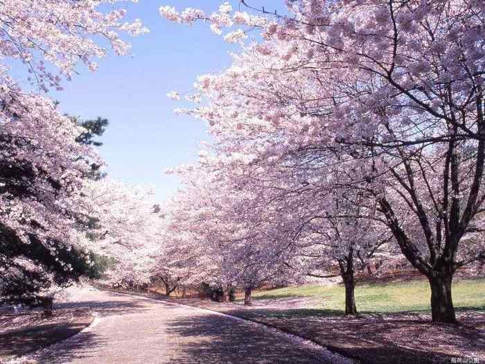 В японии уже началось цветение сакуры