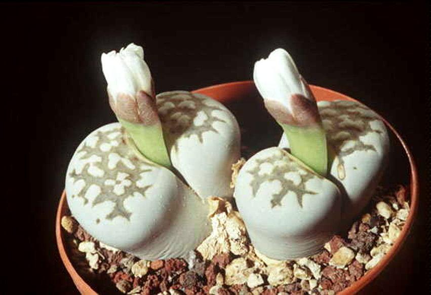Суккулентные растения живые камни