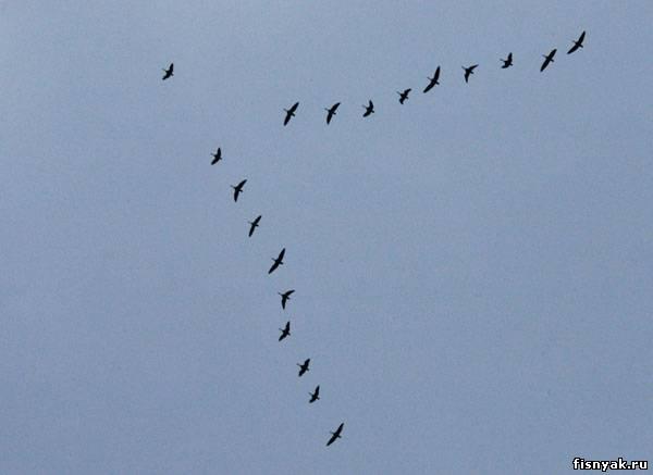 Фото птиц летящих клином